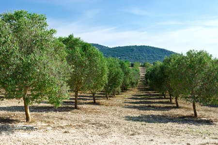 olive groves: Olive Groves on the Hills in Spain