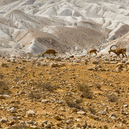 nature reserves of israel: Ibexes on the Rocky Hills of the Negev Desert in Israel Stock Photo