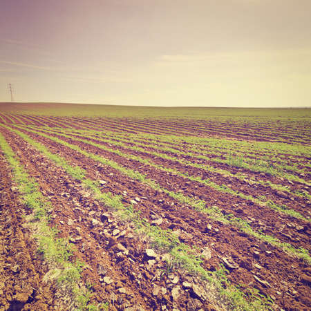 israel farming: Rows of Fresh Young Green Seedling of Carrots in Israel at Sunset, Instagram Effect Stock Photo