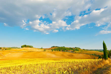 トスカーナ、イタリアで熟したヒマワリのプランテーション