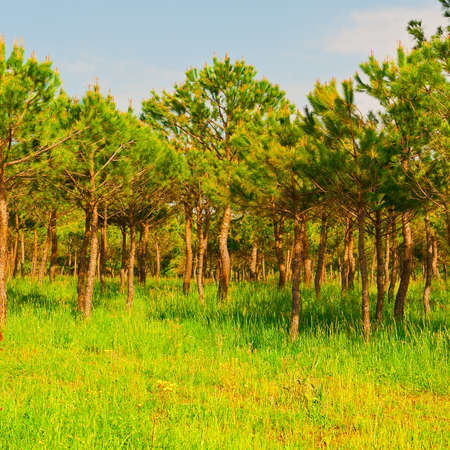 coniferous: Coniferous Forest in Italy