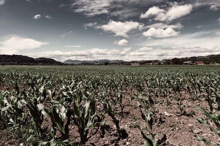 farmhouses: Farmhouses Surrounded by Fields of Young Corn, Retro Image Filtered Style