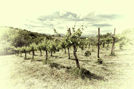 apennines: Young Vineyard in the Italian Apennines, Retro Image Filtered Style Stock Photo