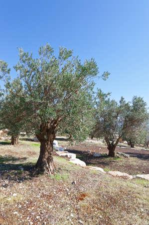 arboleda: Olivar en Israel Foto de archivo