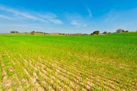 israel farming: Wheat Field in Israel