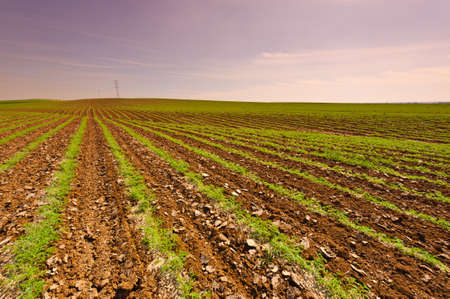 israel farming: Rows of Fresh Young Green Seedling of Carrots in Israel at Sunset Stock Photo