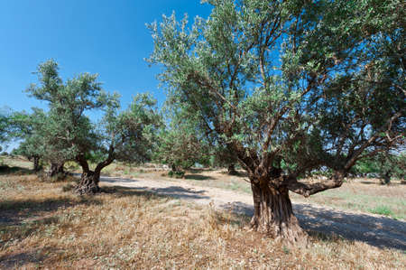 israel: Olive Grove in Israel Stock Photo