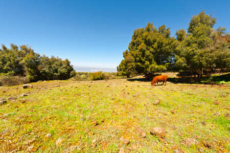 golan: Cow Grazing on the Golan Heights in Israel