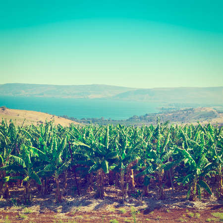 heights: Banana Plantation on the Golan Heights, Instagram Effect Stock Photo