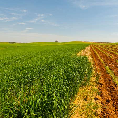 israel farming: Green Field in Israel at Spring Stock Photo