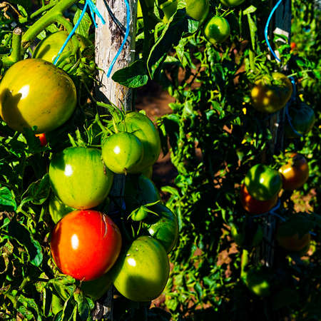 and plot: Tomatoes in Vegetable Garden on a Personal Plot in the French Village
