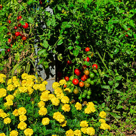 plot: Tomatoes in Vegetable Garden on a Personal Plot in the French Village