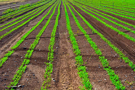 israel farming: Rows of Fresh Young Green Seedling of Carrots in Israel