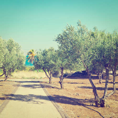mediterranean coast: Olive Grove on the Shore of the Sea of Galilee
