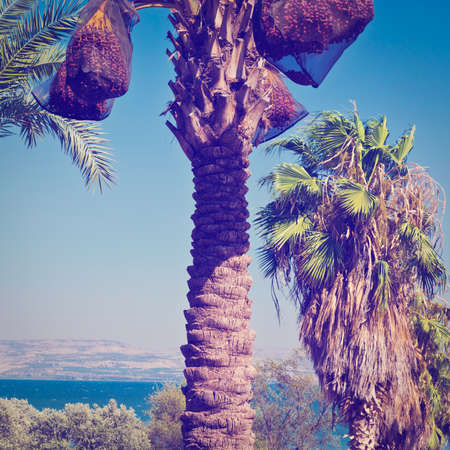 galilee: Date Palms on the Shore of the Sea of Galilee
