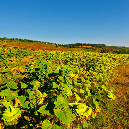 vineyard plain: Plantation of Ripe Sunflower in Tuscany, Italy