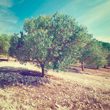 picos: Olive Grove in the Cantabrian Mountains, Spain,