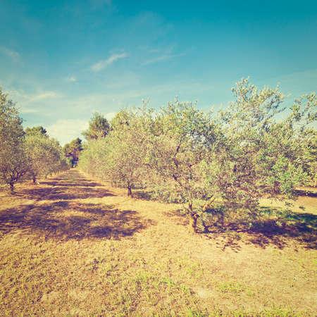 olive groves: Landscape with Olive Groves  in France,