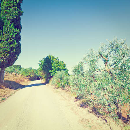 olive groves: Dirt Road between Olive Groves in Tuscany, Italy,