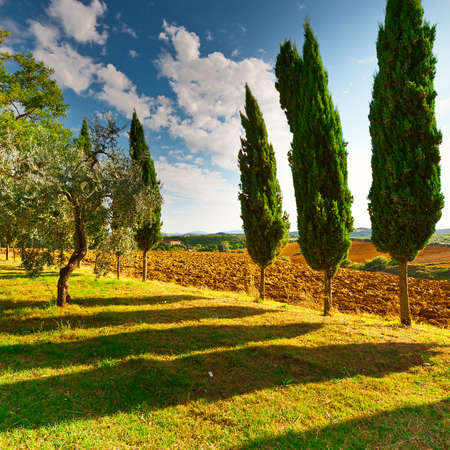 Cypress Alley in Front of the Plowed Sloping Hills of Tuscany in the Autumn