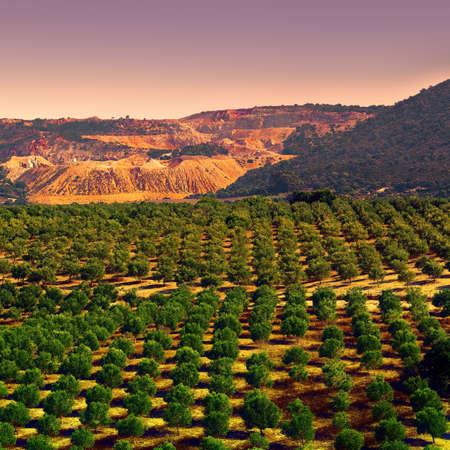 Piantagione di ulivi nelle montagne Cantabriche della Spagna al tramonto, stile vintage tonica immagine