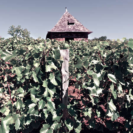 winepress: Ripe Grapes in the Autumn in France, Vintage Style Toned Picture