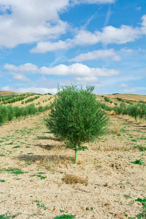 arboleda: Olivar en España