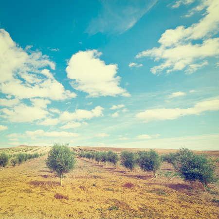 arboleda: Olivar en Espa�a