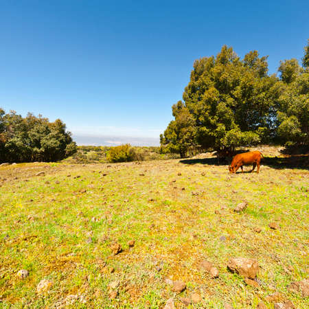 the golan heights: Cow Grazing on the Golan Heights in Israel
