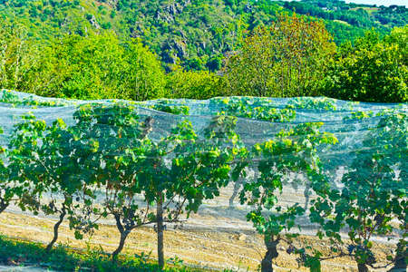 netting: Small Vineyard Covered with Netting against the Sun in France