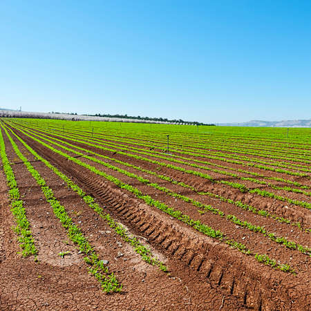 carrot tree: Rows of Seedling of Carrots on the Background of Flowering Almond Garden in Jezreel Valley in Israel Stock Photo