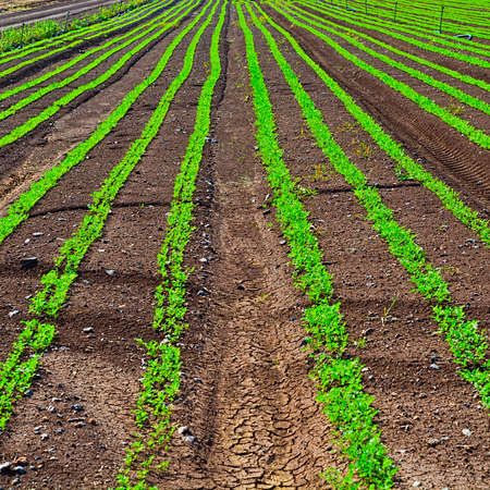 seed bed: Rows of Fresh Young Green Seedling of Carrots in Israel