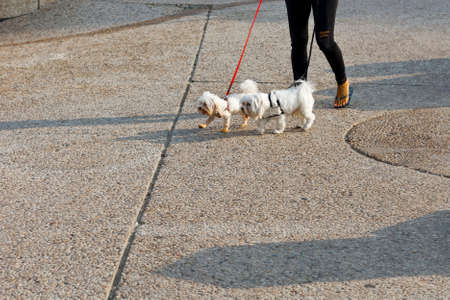 footwork: Woman in Torn Jeans Walking the Dogs in Tel Aviv. The dogs is Wearing a Collar and it is on a Leash.  Stock Photo