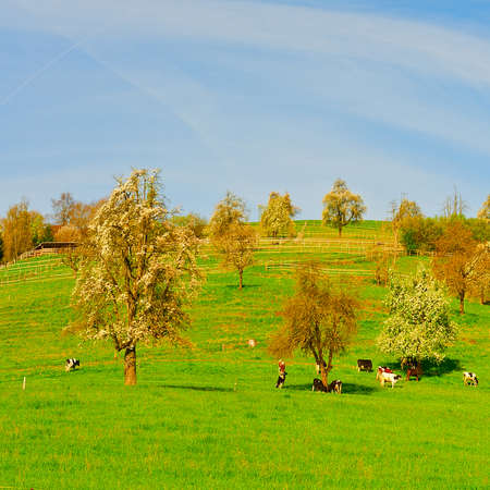 Grazing Cows and Flowering Tree Surrounded by Sloping Meadows, Switzerland