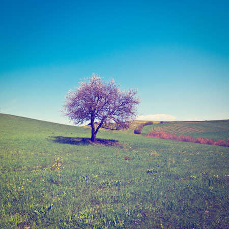 Flowering Tree  Surrounded by Sloping Meadows of Tuscany,