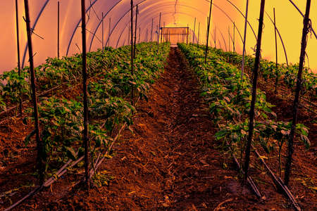 polyethylene film: Cultivation of  peppers in a commercial greenhouse in Israel at Sunset Stock Photo