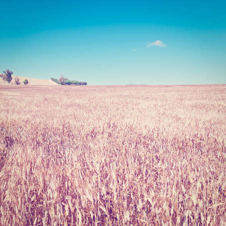 Wheat Fields on the Hills of Sicily, Instagram Effect Stock Photo