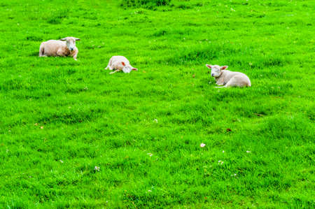 Sheeps Grazing on Green Pasture in the Ardennes.  A flock of sheep lying on the meadow in Belgium.