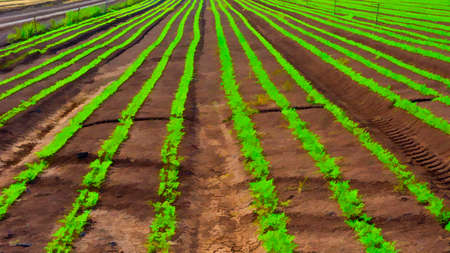 Rows of Fresh Young Green Seedling of Carrots in Israel, Stylized Photo Stock Photo