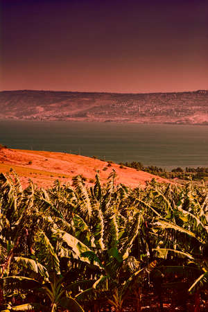 Banana Plantation on the Golan Heights near Kinneret in Israel at sunset. Banana plantation on the bank of the lake Tiberias on the background of Galilee mountains.