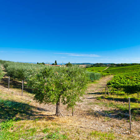 Hill of Tuscany with vineyard in the Chianti region. Olive trees on the Tuscany hills with vineyards in Italy