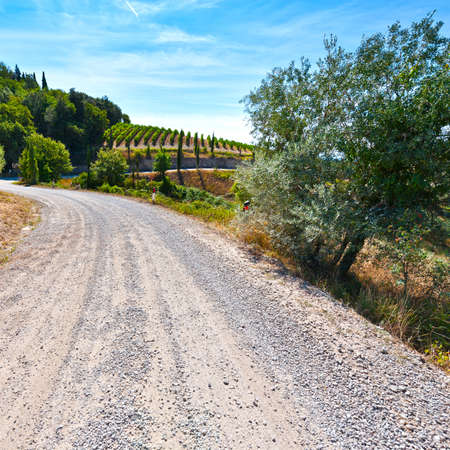 Dirt road between the vineyards in the Chianti region. Olive trees on the Tuscany hills with vineyards in Italy