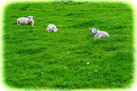 Sheeps Grazing on Green Pasture in the Ardennes.  A flock of sheep lying on the meadow in Belgium. Vintage Style Toned Picture Stock Photo