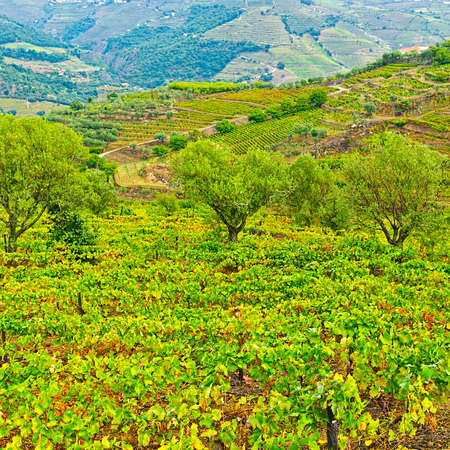 Vineyards and Olive Groves on the Hills of Portugal