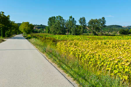 rape: Sunflower and tobbaco plantation near the asphalt road in Tuscany.