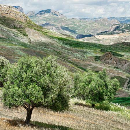 이탈리아 시칠리아의 언덕 경 사진에 올리브 나무