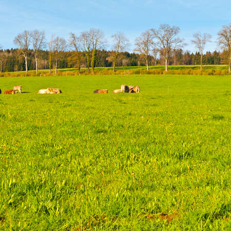 Cows grazing on fresh green mountain pastures. Animal husbandry in Switzerland, fields and meadow Stock Photo