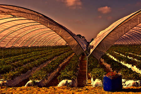 seeding: Strawberry Beds inside the Greenhouse in Portugal at Sunset Stock Photo