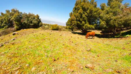 Cow Grazing on the Golan Heights in Israel