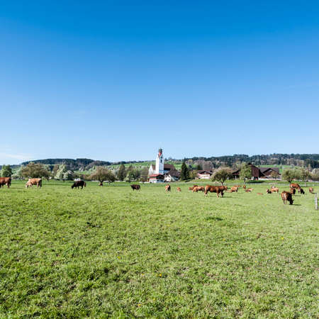 arando: Cows grazing on fresh green mountain pastures of Alps. Animal husbandry in Switzerland, fields and meadow. The village engaged in the production of milk.